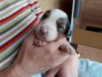 Schoßhund Bacardi
